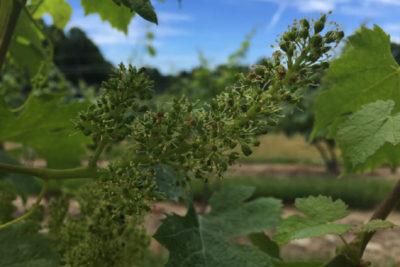 Summer vineyards in bloom